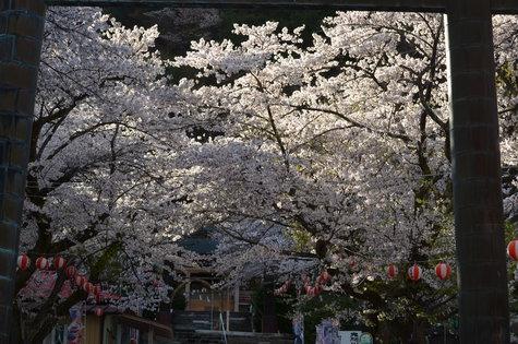 護国神社の満開の桜