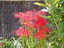 「彼岸花」が咲きました。