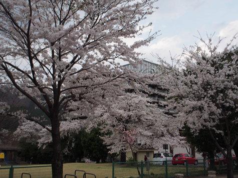鬼怒川温泉のさくら(4/4)