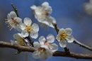 梅がきれいに咲きました。(3/16)