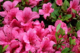 庭園 雨とさつき