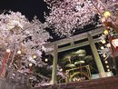 鬼怒川温泉夜桜ライトアップ2021