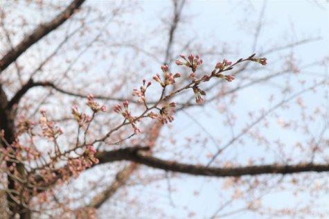 鬼怒の季の風景から(3/27) -さくら-